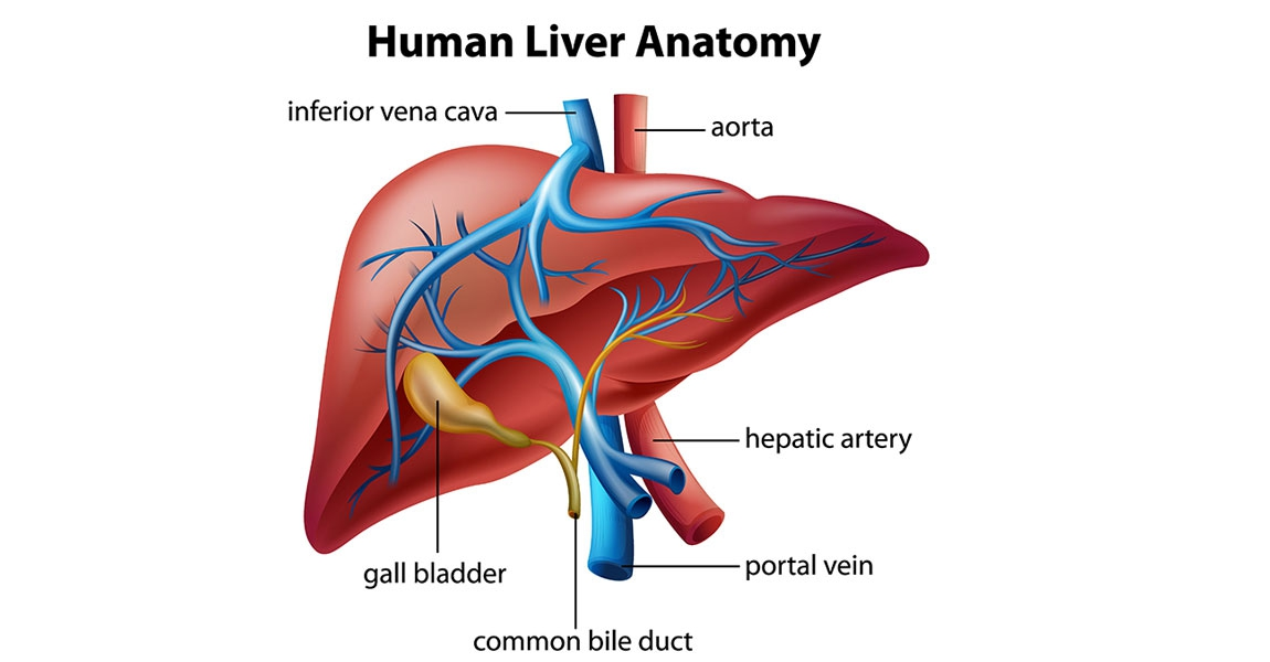What is the liver for?